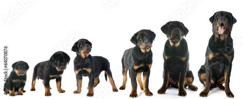 puppy rottweiler Canvas Print