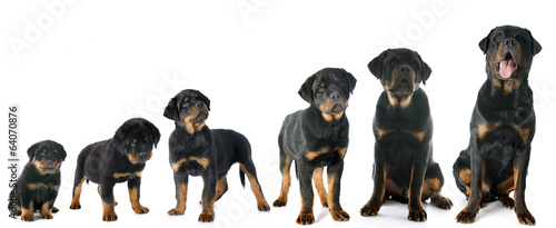 puppy rottweiler Tapéta, Fotótapéta
