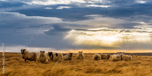 Sheep a herd of sheep in a field