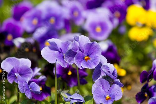 Ingelijste posters Pansies Viola flowers field