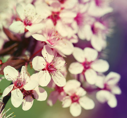 Panel Szklany Drzewa Cherry Blossom. Sakura in Springtime.