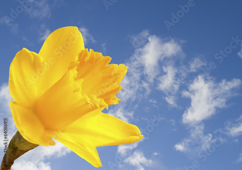Foto auf Leinwand Narzisse Bright yellow daffodil on blue sky background