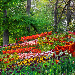 Panel Szklany Ogrody Colorful tulips in the park. Spring landscape.