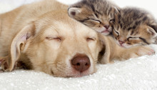 Puppy And Kittens Sleeping Tog...
