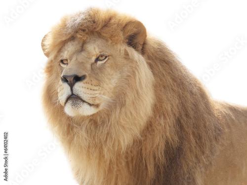 Fotobehang Leeuw Proud lion