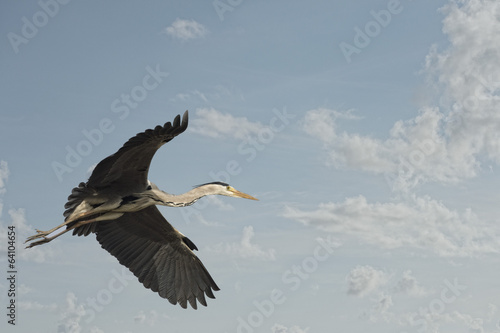 A blue black heron Fototapeta