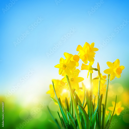 Foto op Canvas Narcis Daffodils Flowers In Spring