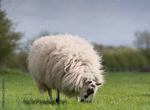 sheep standing in meadow Poster