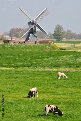 Canvas Prints Sheep Mooie Hollandse landschap met lammetjes