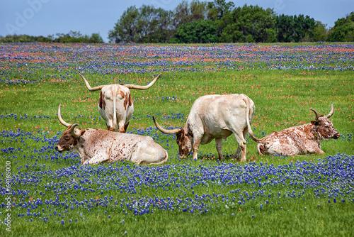 Poster Texas Texas longhorn cattle in bluebonnet wildflower pasture