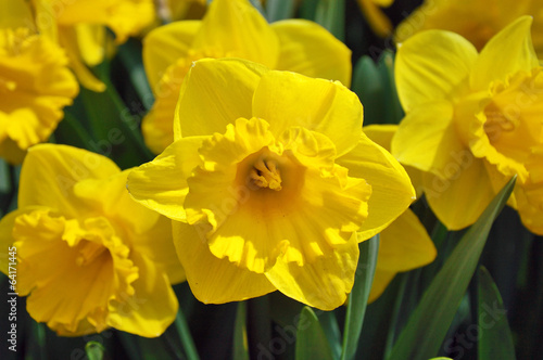 Deurstickers Narcis Yellow daffodils