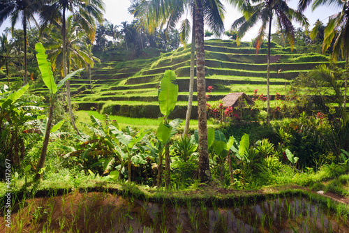 Terrace rice fields, Ubud, Bali, Indonesia