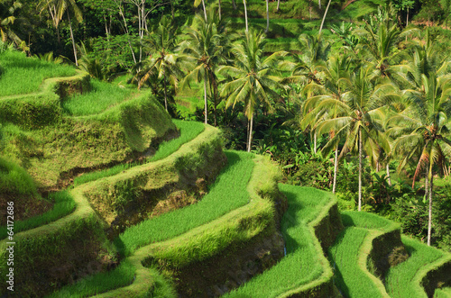 Fotobehang Rijstvelden Terrace rice fields, Ubud, Bali, Indonesia