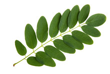 Green Leaf Of Acacia Tree Isolated On White Background