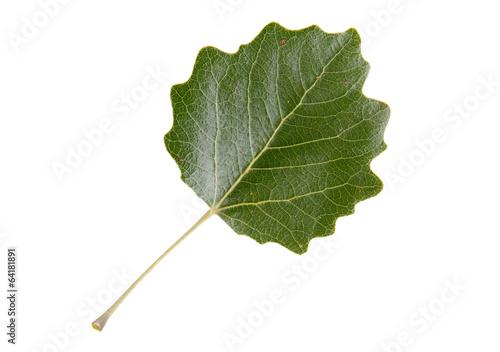 High Resolution green leaf of white poplar tree Fototapeta