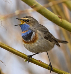 Fototapeta Singing Bluethroat on branch