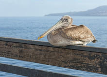 California Brown Pelican Resti...