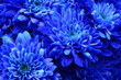 canvas print picture - Macro of blue flower aster