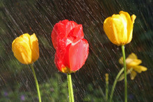 Yellow And Red Tulips In The R...
