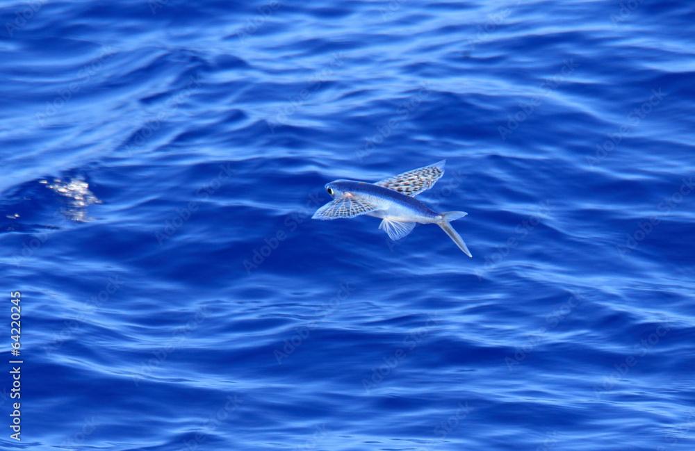 Fototapety, obrazy: Yellow-wing flyingfish (Cypselurus poecilopterus) flying in Japa