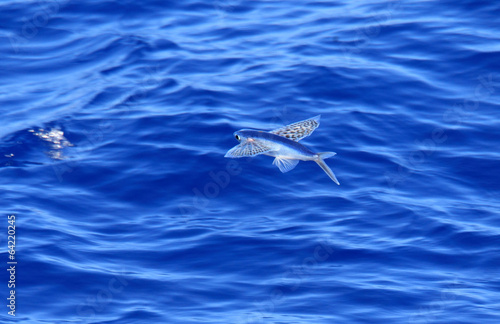 Photo Yellow-wing flyingfish (Cypselurus poecilopterus) flying in Japa