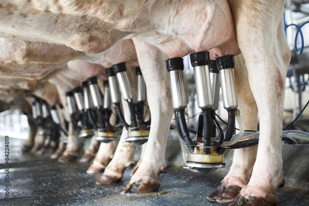 Fototapeta row of cows being milked