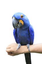 Hyacinth Macaw Perching On Hum...