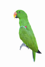 Green Parakeet Isolated On The White Background