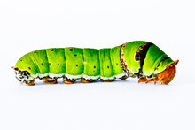 Caterpilla  In Isolated On Whi...
