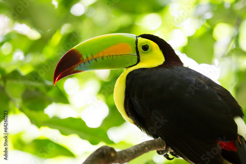 Fotografia  Portrait of Keel-billed Toucan bird