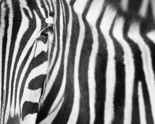 zebra-tlo