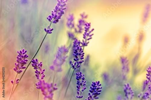 Fototapety, obrazy: Soft focus on lavender