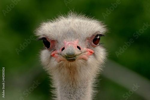 Staande foto Struisvogel Ostrich head close up
