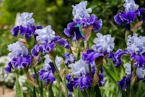 Spoed Foto op Canvas Iris Iris in the field