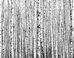 Panel Szklany Las Spring trunks of birch trees black and white