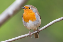 Red Robin On A Branch Very Clo...