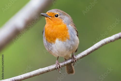 Photo  Red robin on a branch very close and detailed