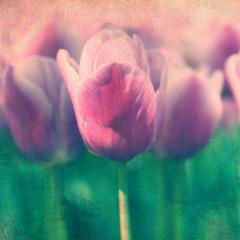 Fototapeta Tulipany Vintage tulips grunge