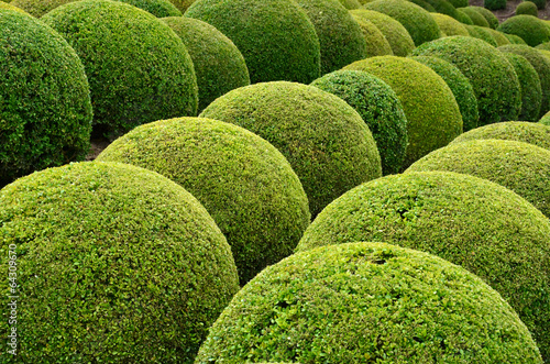 Poster Jardin Boxwood - Green garden balls in France,
