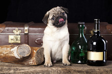 Portrait Of Pug-dog Against The Background Of Bottles Of Liquor