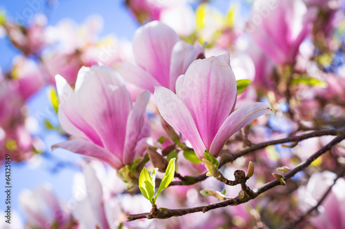 Staande foto Magnolia Beautiful blossoming magnolia tree in the spring time