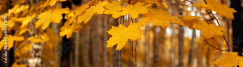 Poster Oranje Yellow autumn maple leaves – banner, panoroma