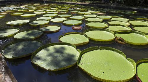 Fototapeta Nenuphars Victoria Amazonia in Pamplemousses gardens, Mauritius