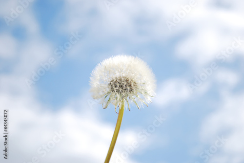 Bunch white fluffy dandelions on blue sky background with sun