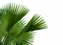 Green Palm Leaf Isolated On White Background, Clipping Path Incl
