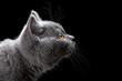 canvas print picture - blue kitten portrait
