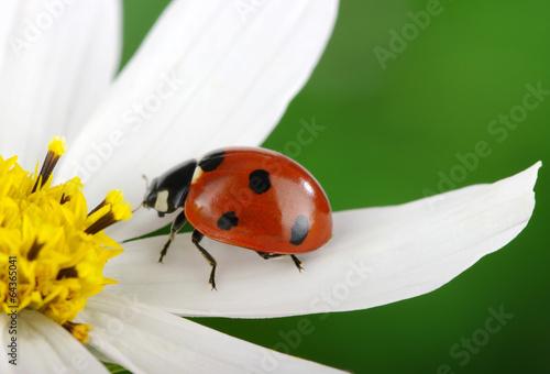 biedronka-i-kwiat