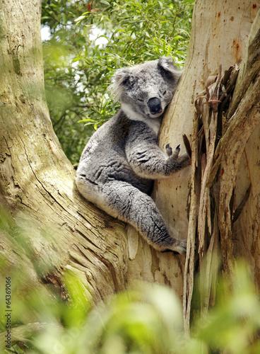 Garden Poster Koala Koalabär
