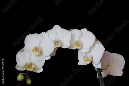 Viele weiße Orchidee Blüten - 64376408