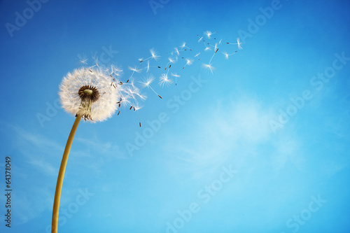 Montage in der Fensternische Lowenzahn Dandelion clock dispersing seed
